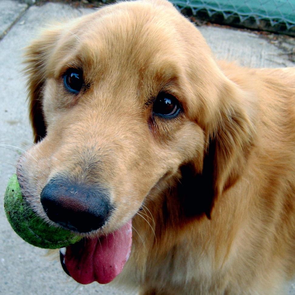 hond schattig tennisbal